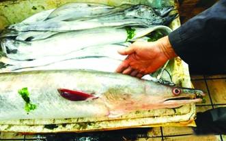 巨型海鰻魚。