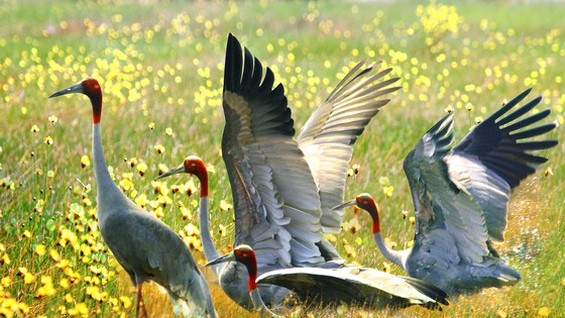 Red-headed crane is among the largest and heaviest cranes. (Photo: SGGP)