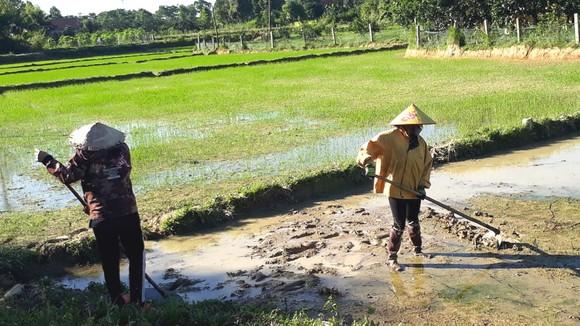 Người dân ở huyện Hương Khê (tỉnh Hà Tĩnh) làm đất để gieo sạ lại diện tích lúa đã bị hư hỏng do mưa lớn vừa qua