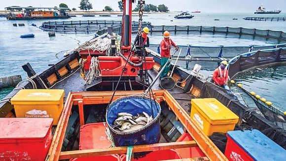 Thu hoạch cá từ các trang trại cá ngoài khơi bờ biển Singapore giúp thành phố khan hiếm đất đai tăng nguồn cung cấp thực phẩm trong nước.