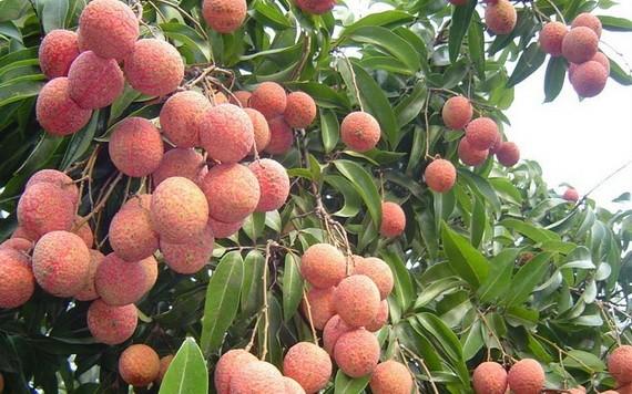 預計北江省今年荔枝產量達18萬噸,比去年增多1萬5000噸。(圖源:杜香)