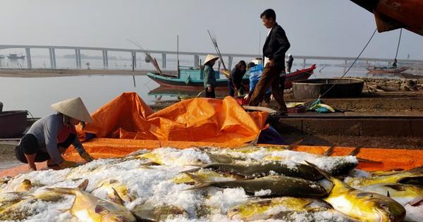 Ngư dân Hà Tĩnh trúng mẻ cá chim vây vàng khoảng 600 triệu đồng