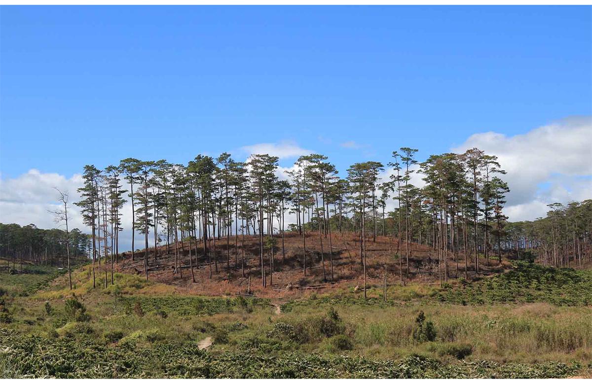 Xót xa rừng thông bị cưa hạ hàng loạt ảnh 11