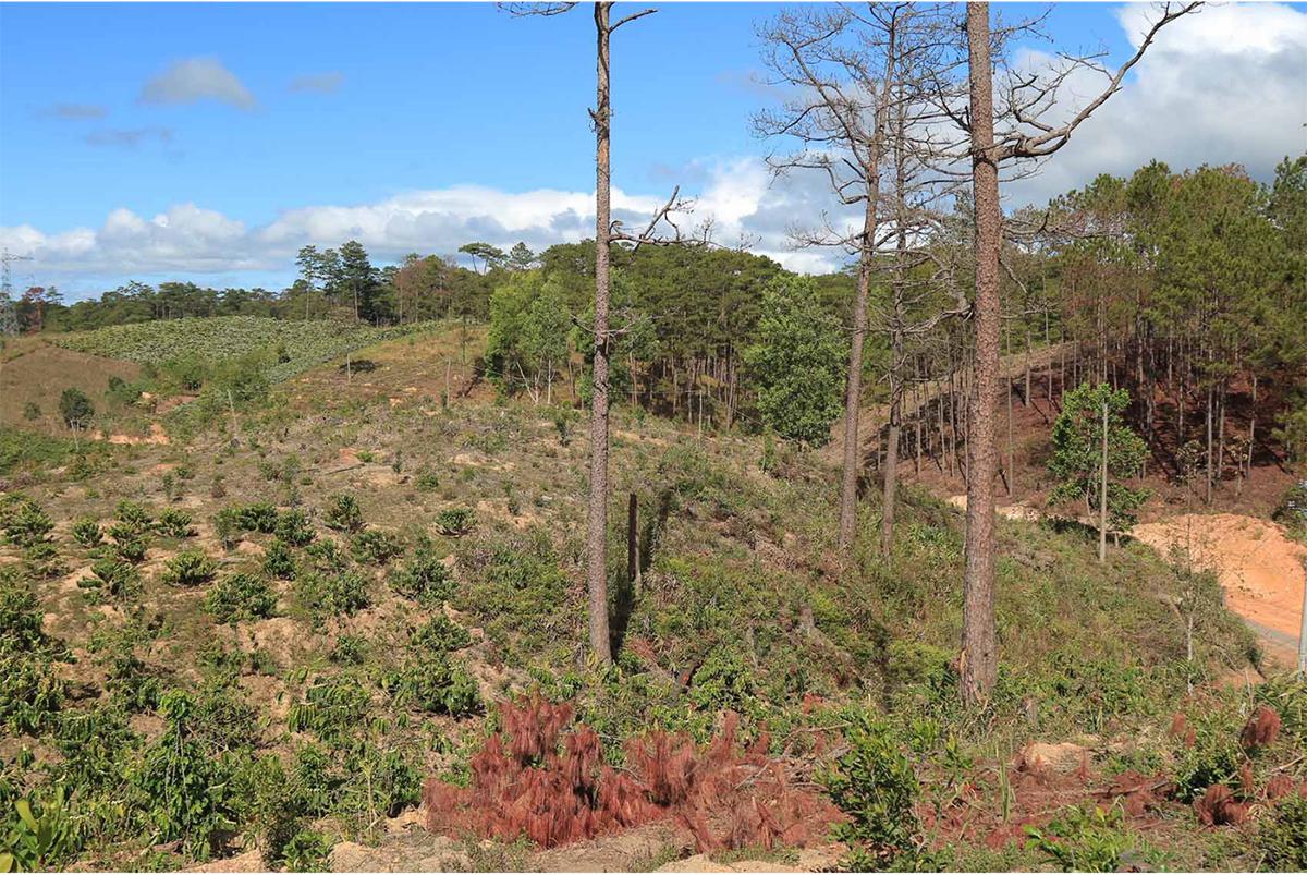 Xót xa rừng thông bị cưa hạ hàng loạt ảnh 2