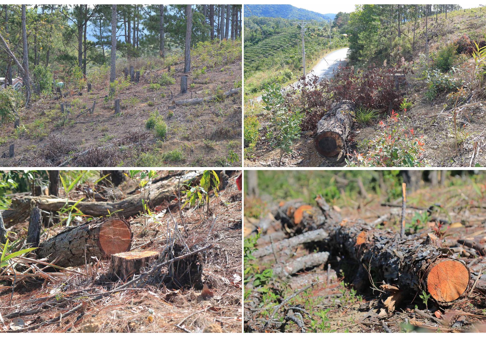 Xót xa rừng thông bị cưa hạ hàng loạt ảnh 3