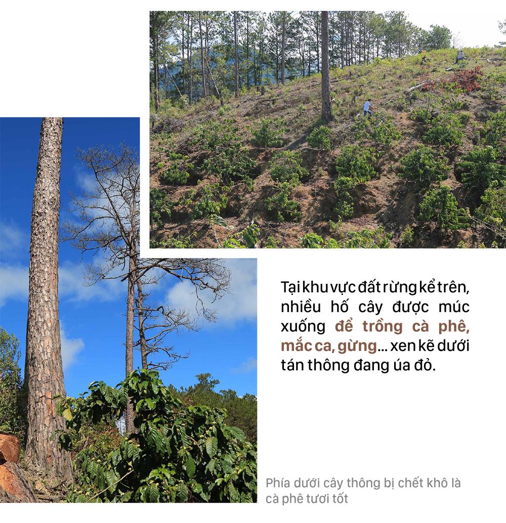 Xót xa rừng thông bị cưa hạ hàng loạt ảnh 5