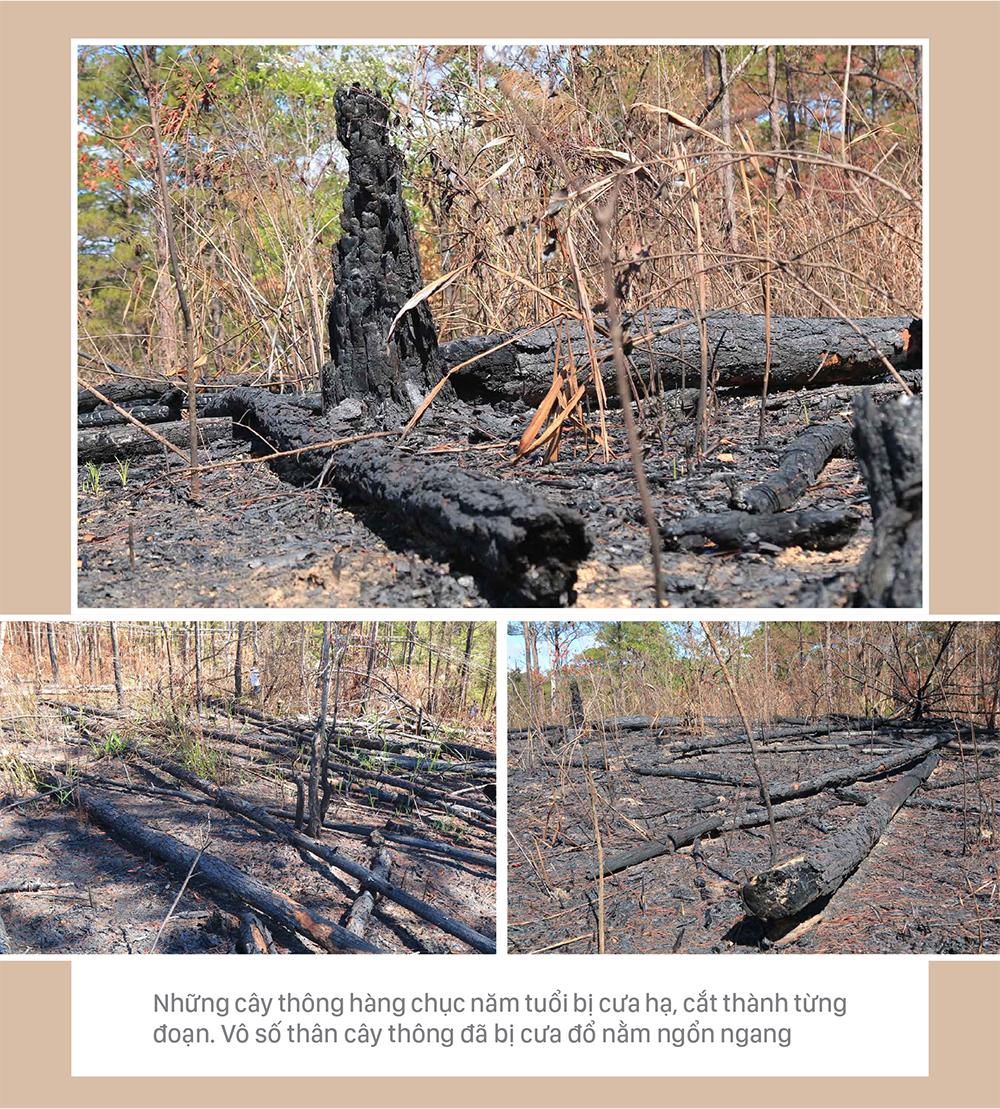 Xót xa rừng thông bị cưa hạ hàng loạt ảnh 6