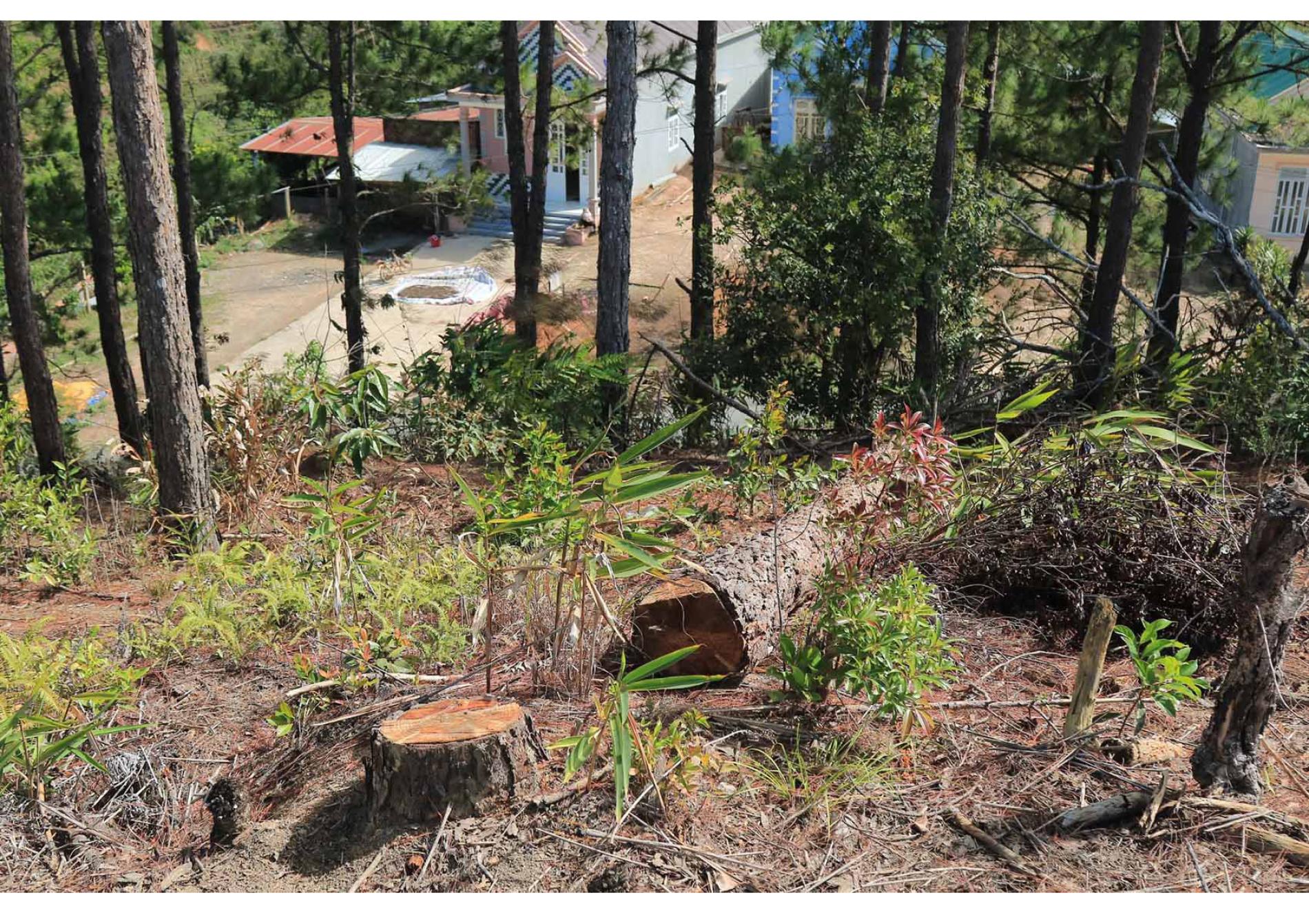 Xót xa rừng thông bị cưa hạ hàng loạt ảnh 8
