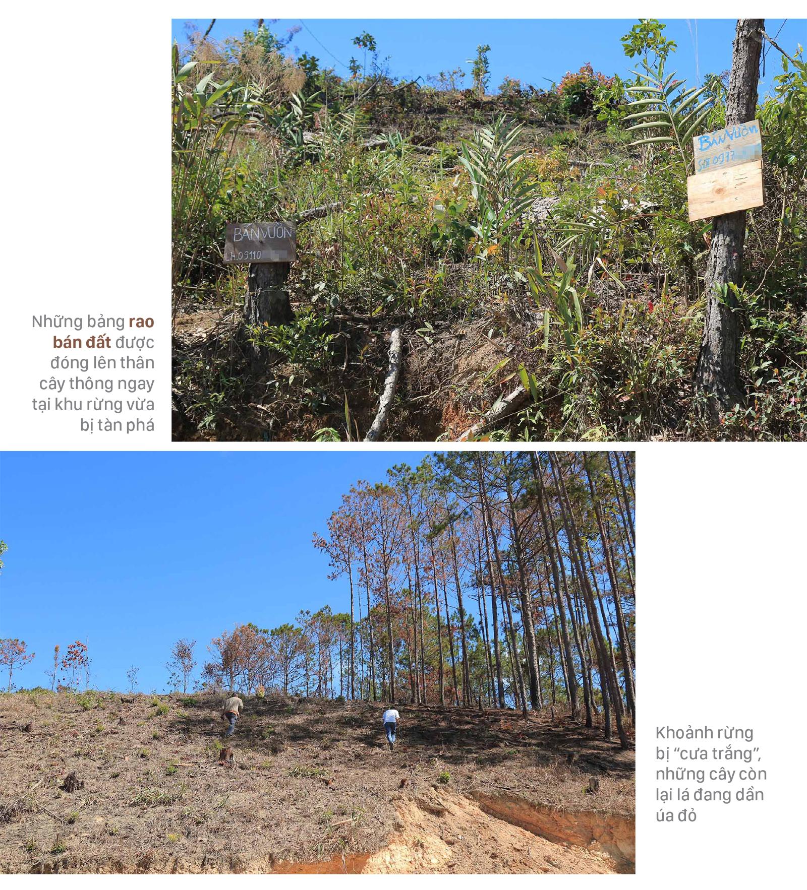 Xót xa rừng thông bị cưa hạ hàng loạt ảnh 7
