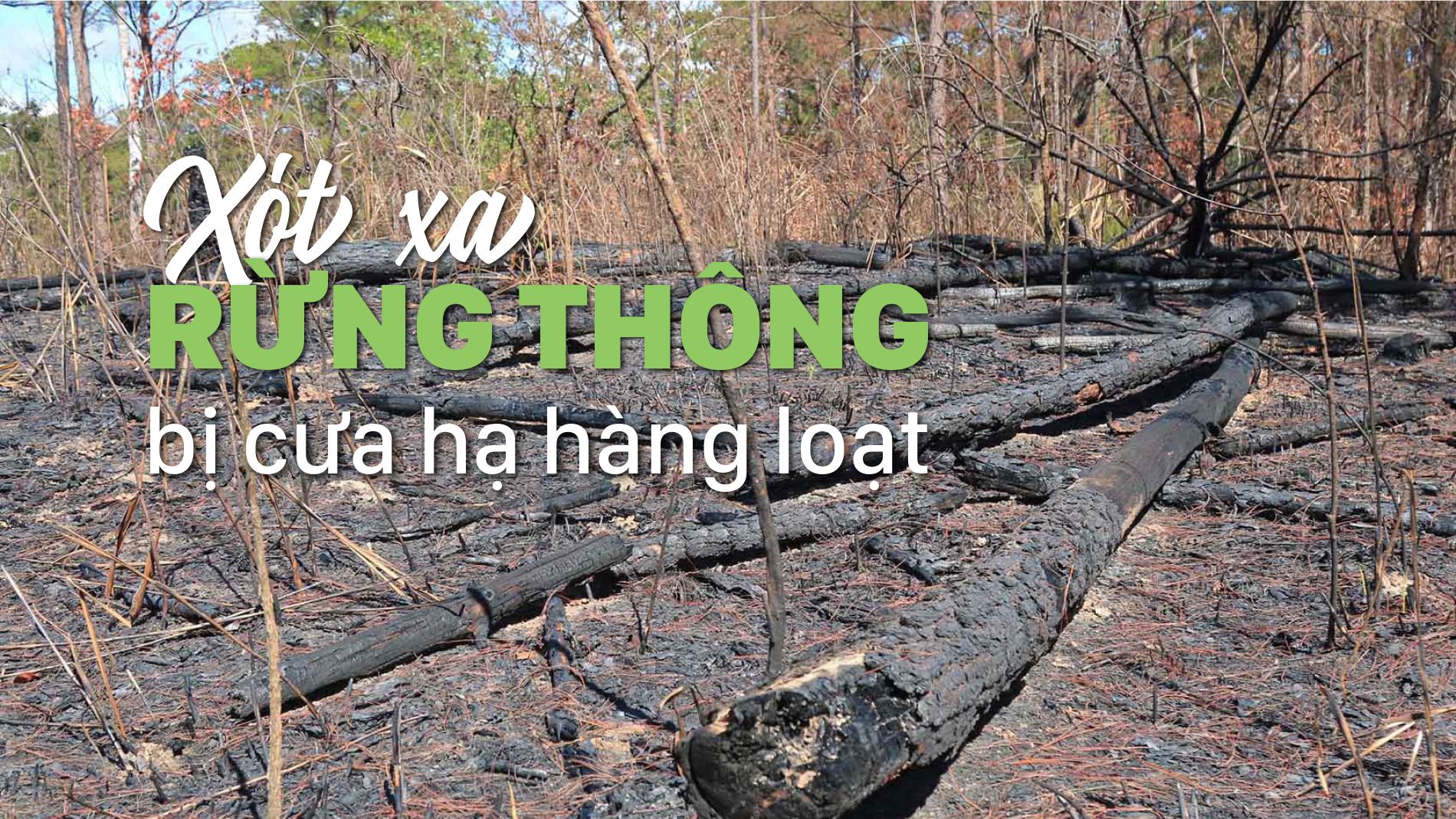 Xót xa rừng thông bị cưa hạ hàng loạt