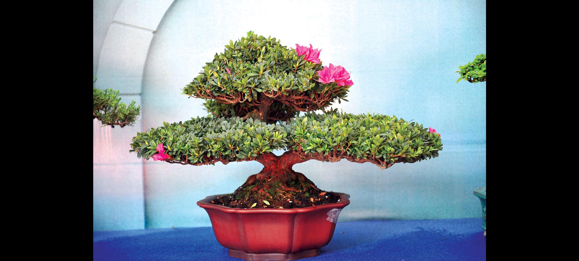Nghệ thuật bonsai thú chơi tao nhã ảnh 5