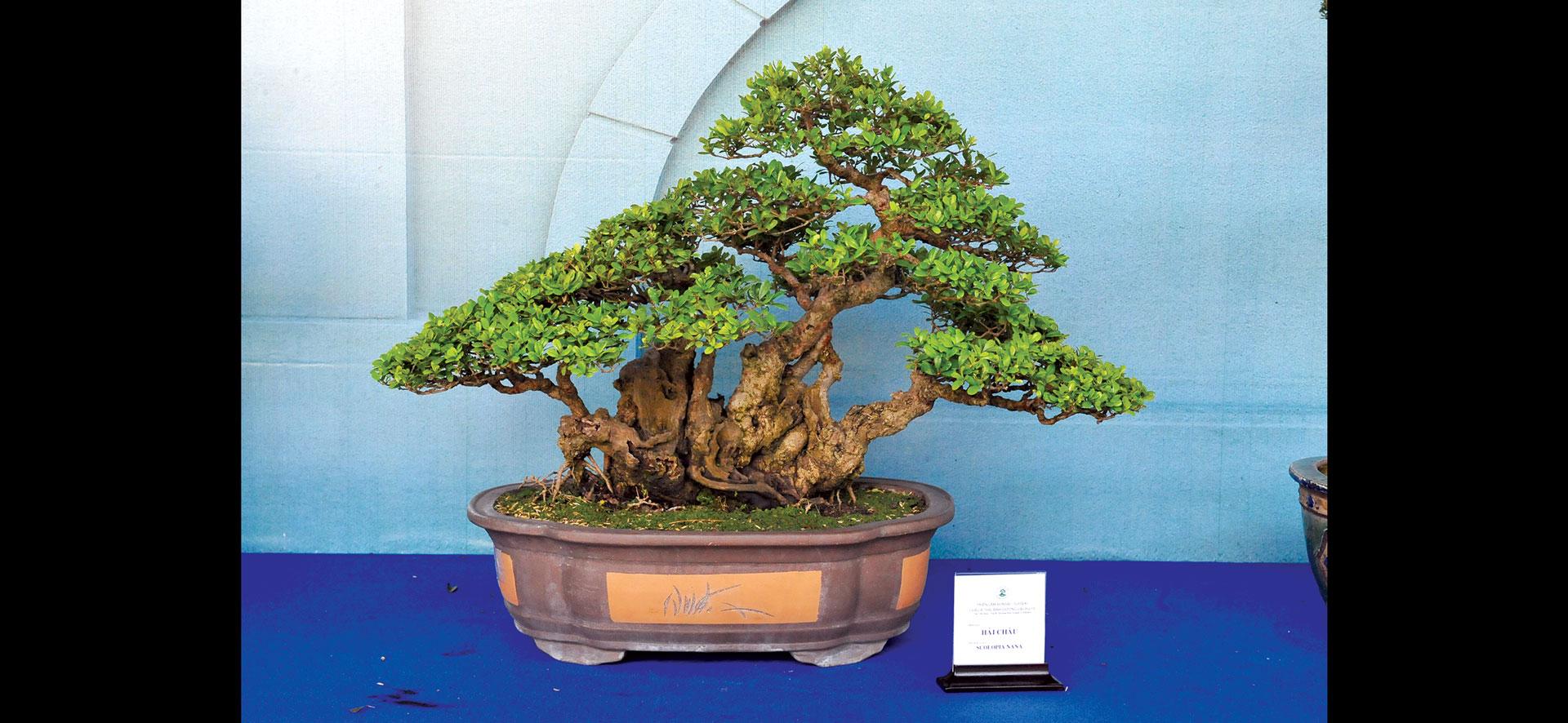Nghệ thuật bonsai thú chơi tao nhã ảnh 7