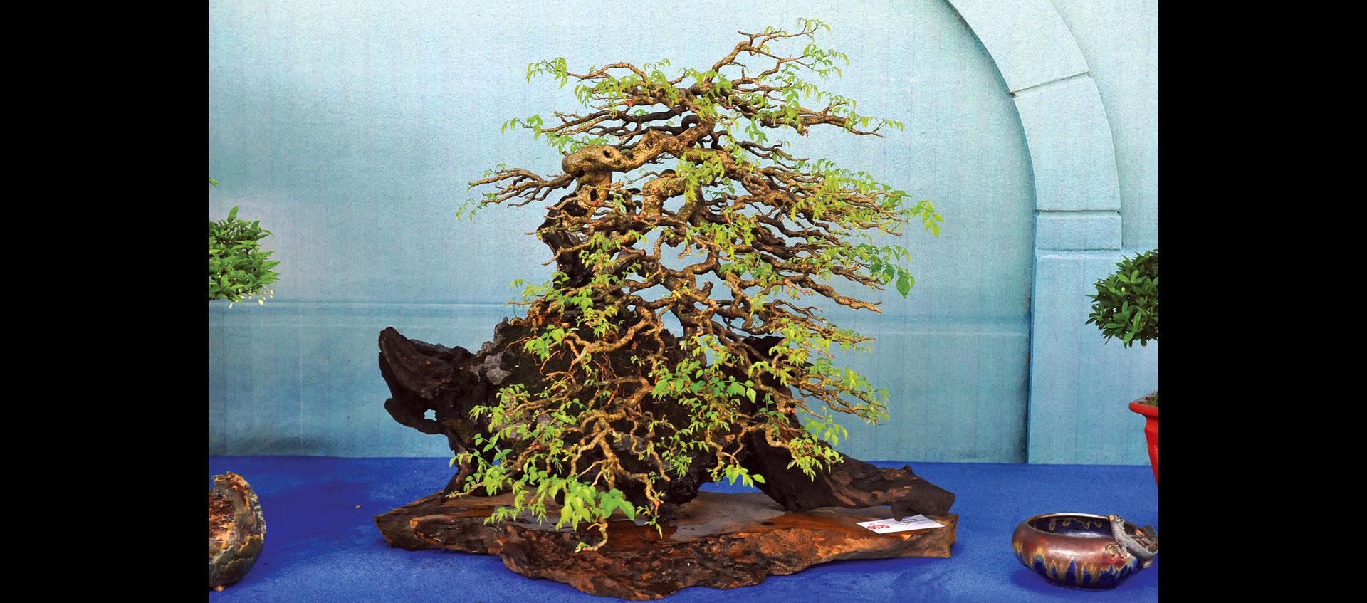 Nghệ thuật bonsai thú chơi tao nhã ảnh 3