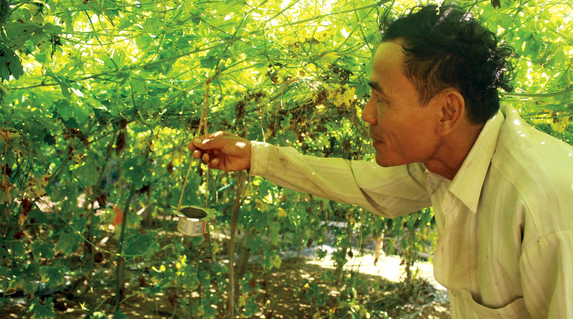 Nông dân tự làm bẫy sinh học, trừ sâu thảo mộc để trồng rau hữu cơ ảnh 5