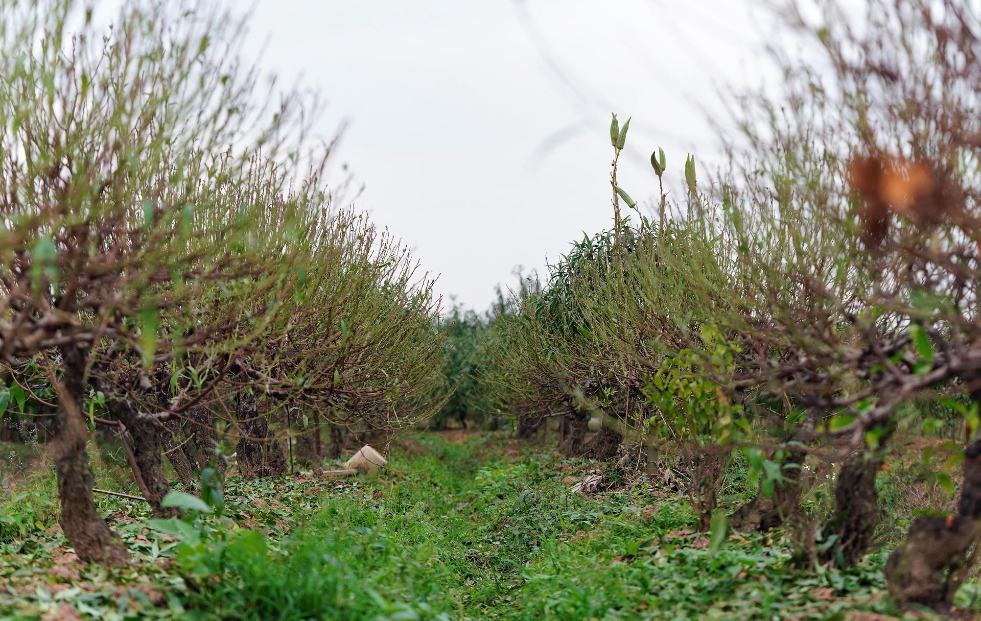 Làng đào La Cả vào mùa tuốt lá ảnh 12