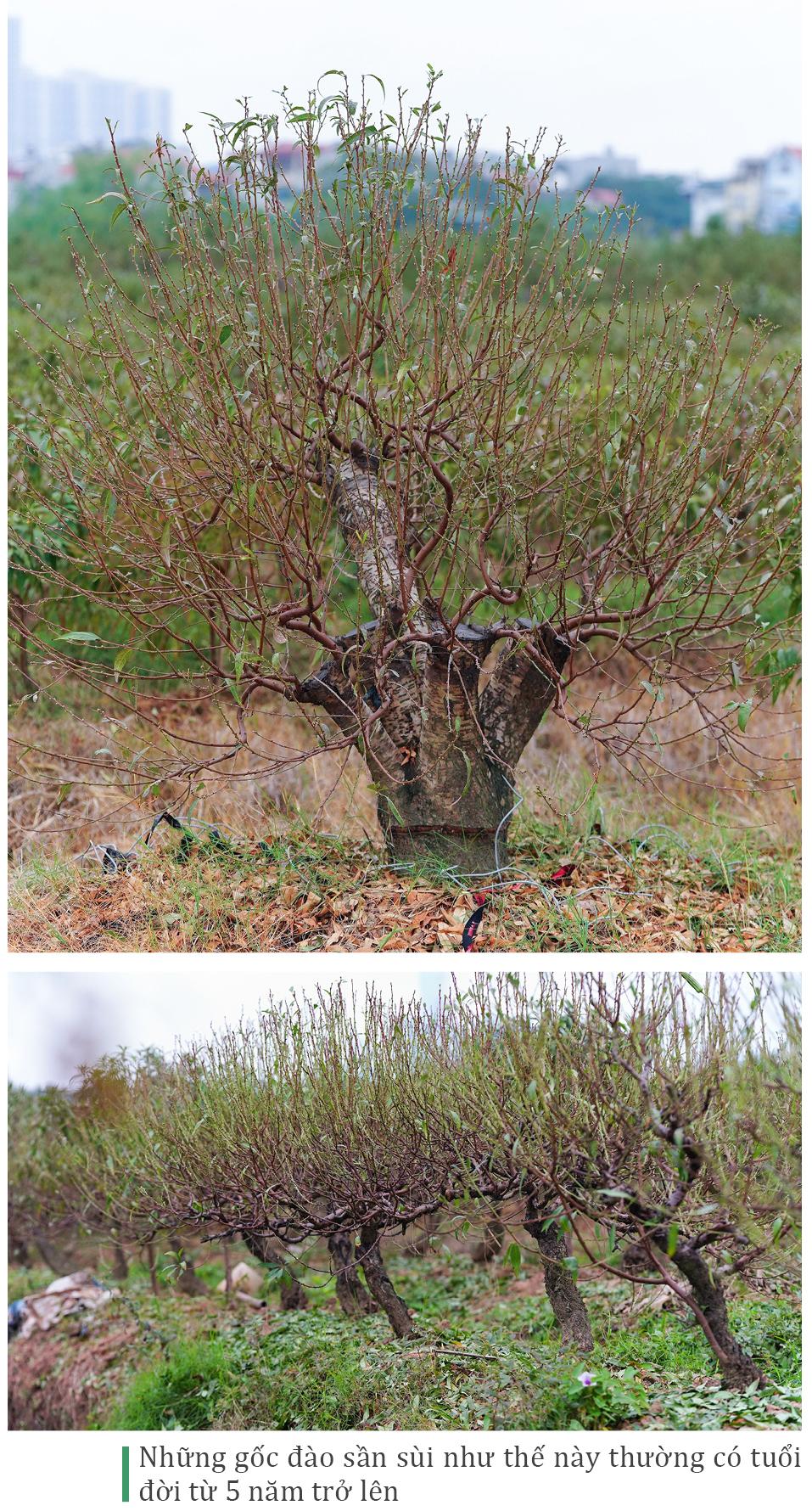 Làng đào La Cả vào mùa tuốt lá ảnh 13