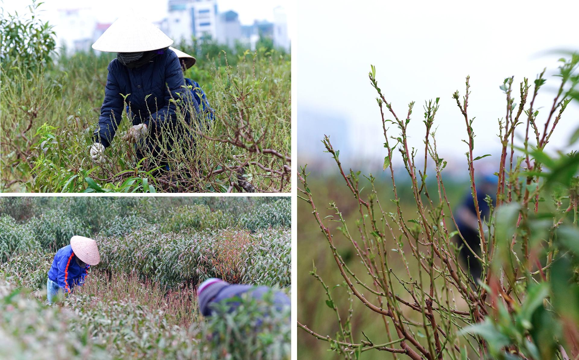 Làng đào La Cả vào mùa tuốt lá ảnh 8
