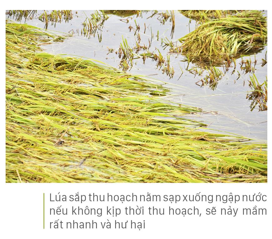 Nông dân miền Trung dầm mình cứu lúa sau mưa bão  ảnh 39