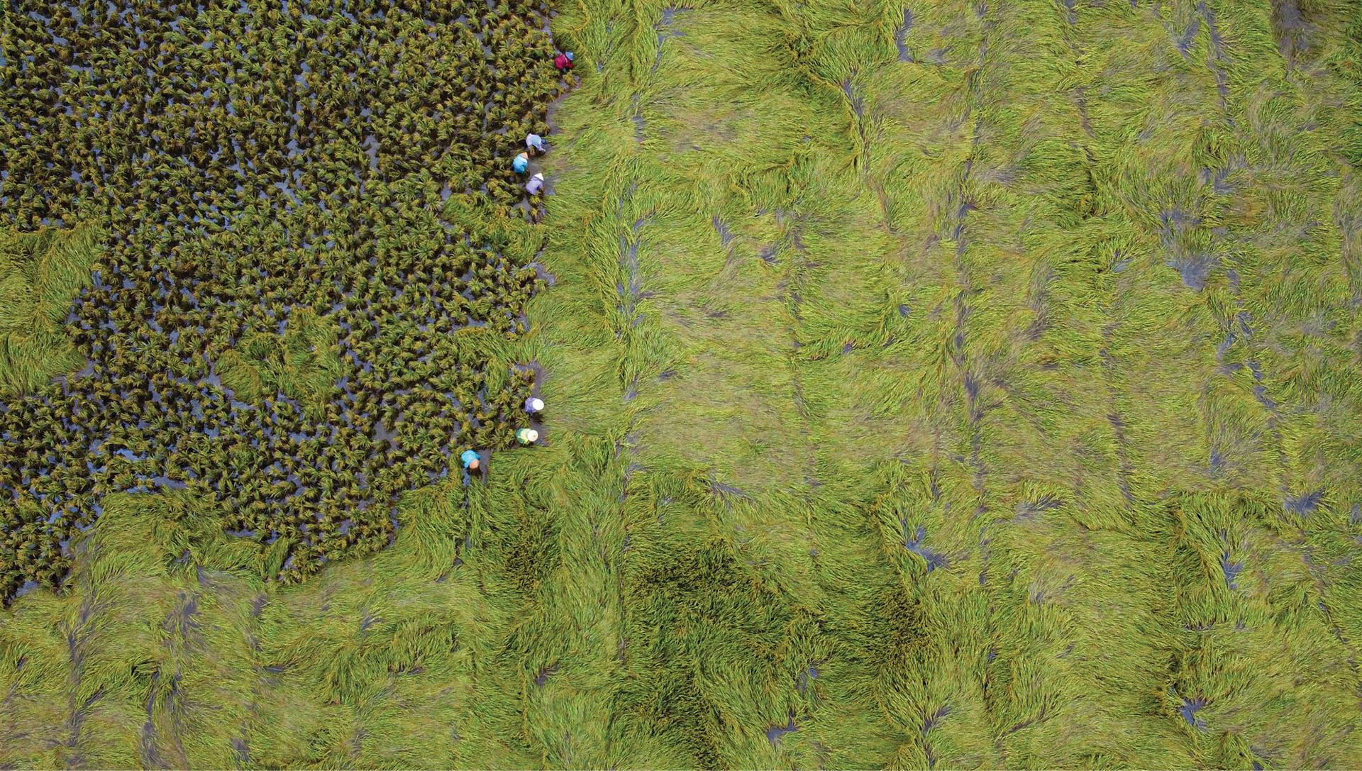 Nông dân miền Trung dầm mình cứu lúa sau mưa bão  ảnh 4