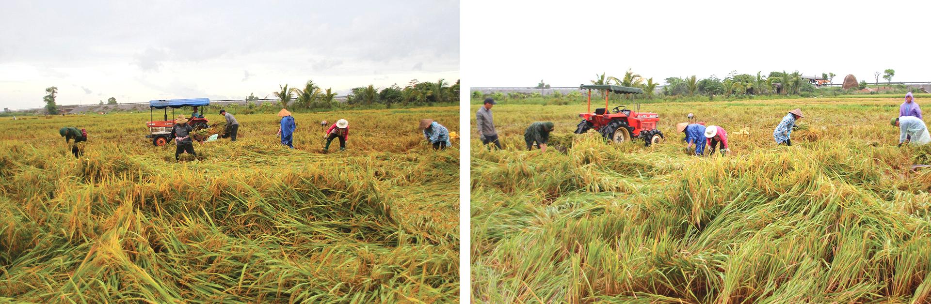 Nông dân miền Trung dầm mình cứu lúa sau mưa bão  ảnh 7