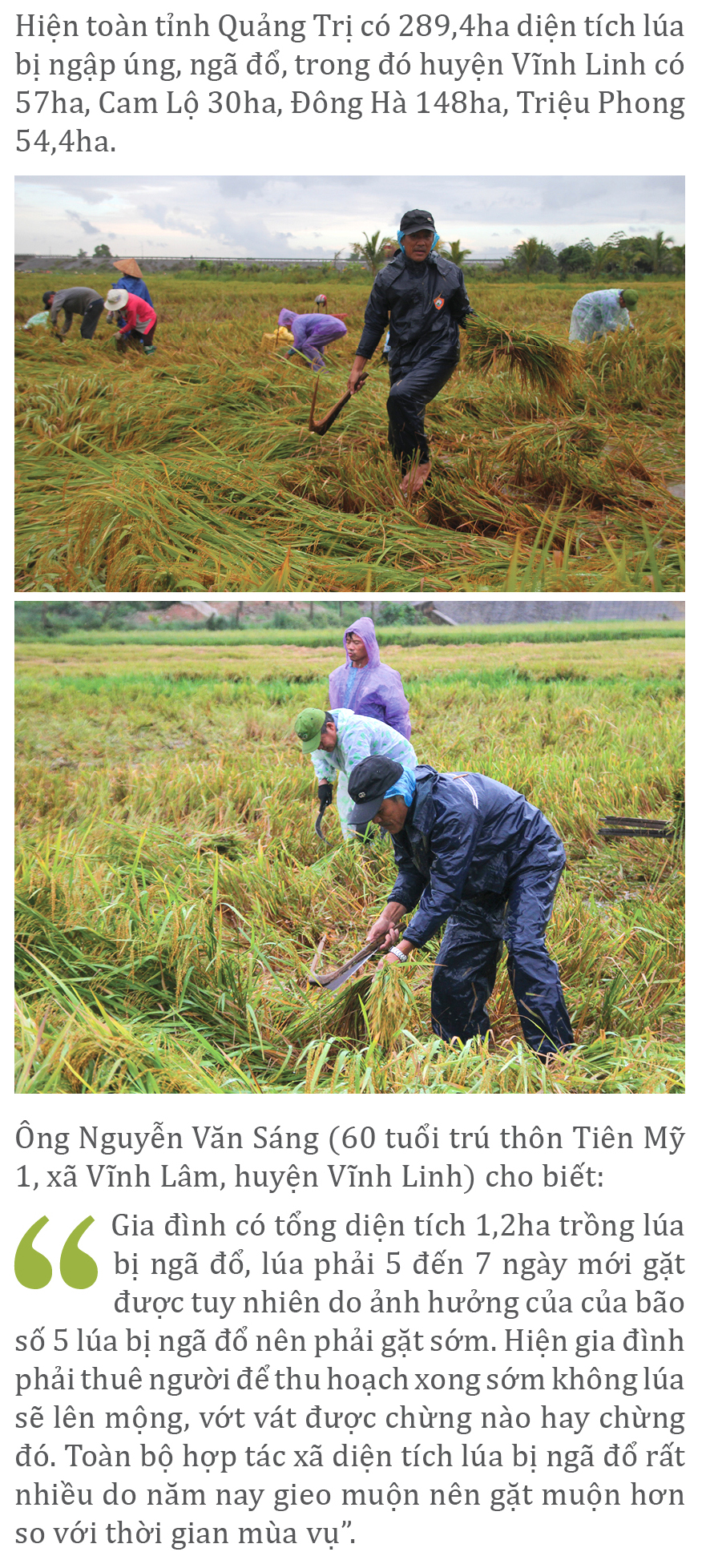 Nông dân miền Trung dầm mình cứu lúa sau mưa bão  ảnh 9