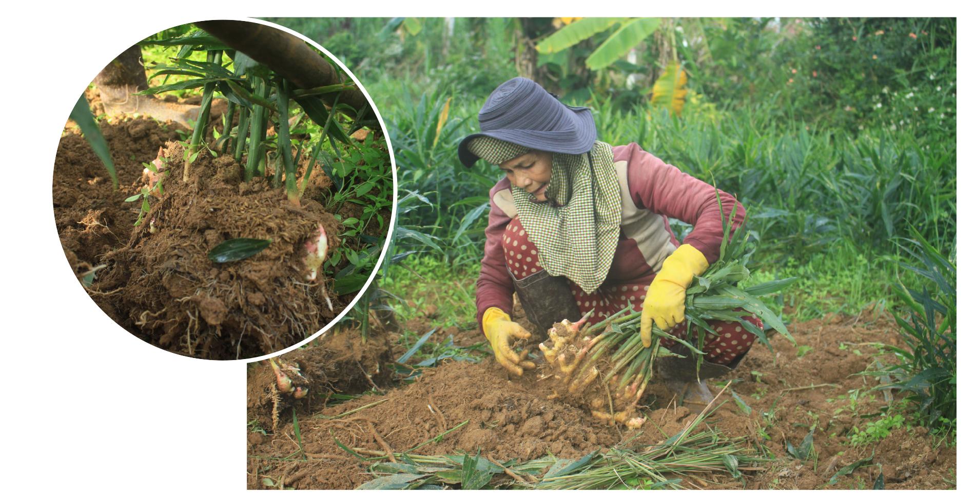 Nông dân Quảng Ngãi phấn khởi thu hoạch gừng Tết ảnh 2