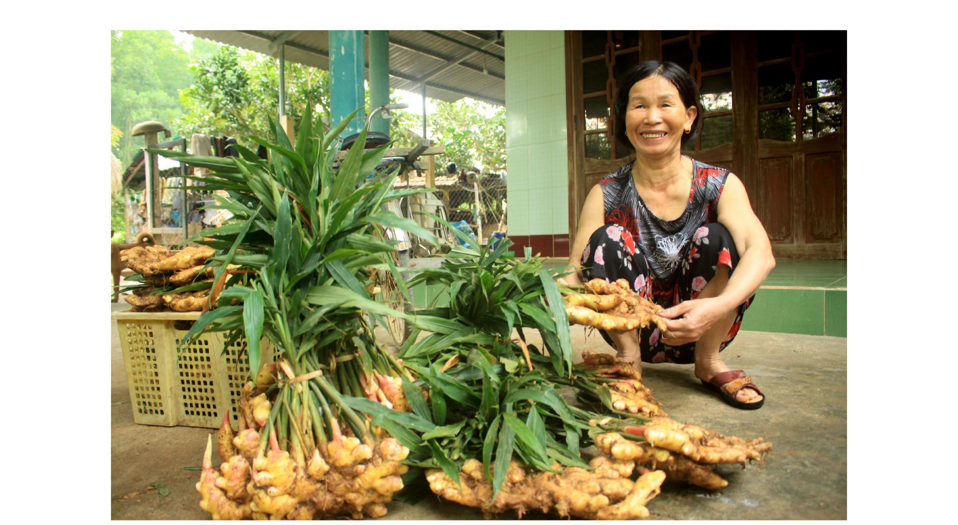 Nông dân Quảng Ngãi phấn khởi thu hoạch gừng Tết ảnh 5