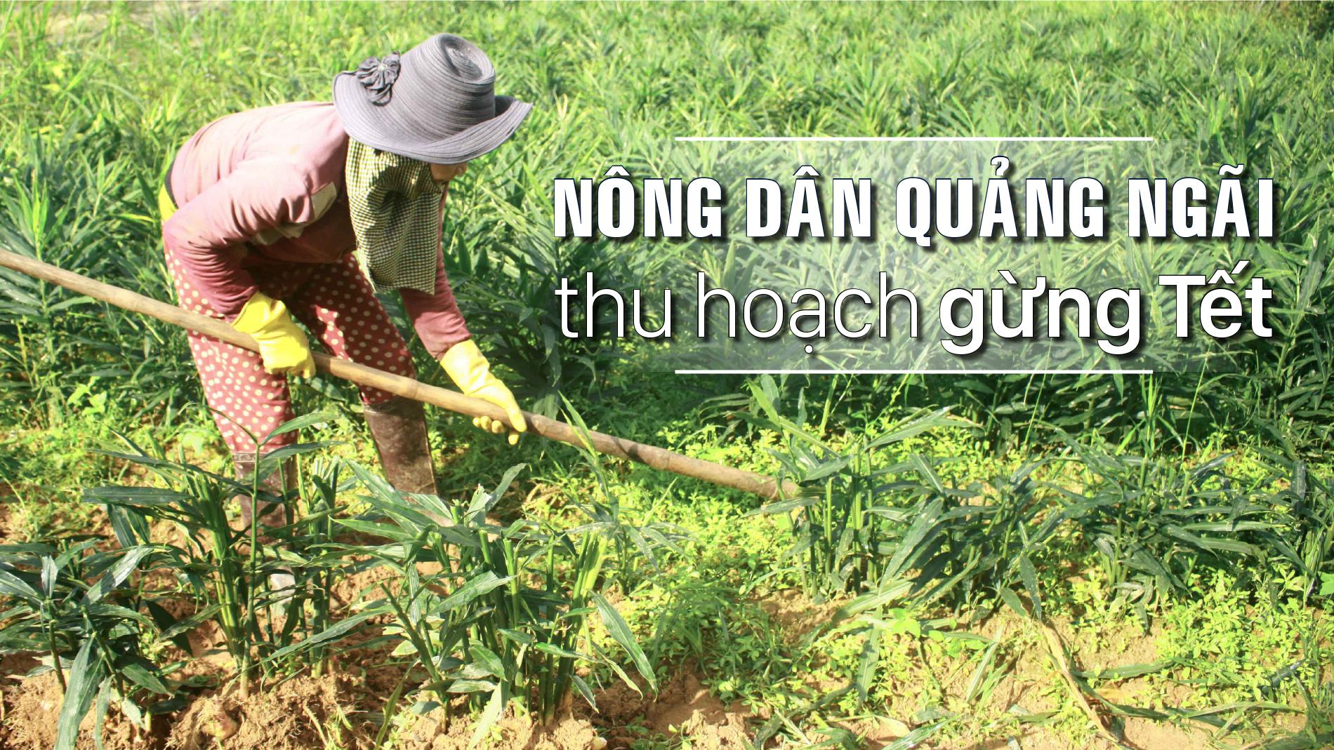 Nông dân Quảng Ngãi phấn khởi thu hoạch gừng Tết