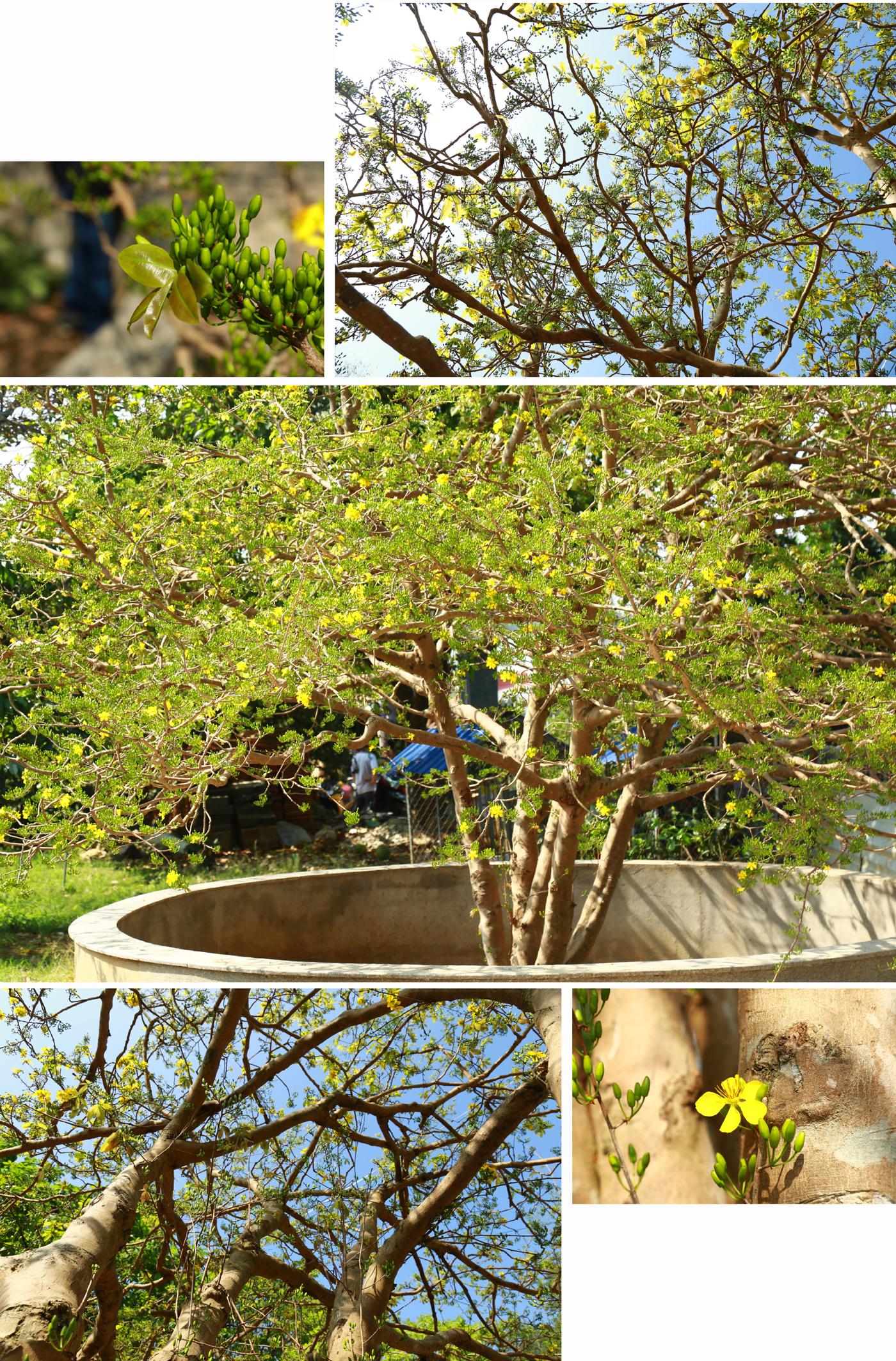 Ngắm cây mai 'khổng lồ' ở Bà Rịa - Vũng Tàu ảnh 10
