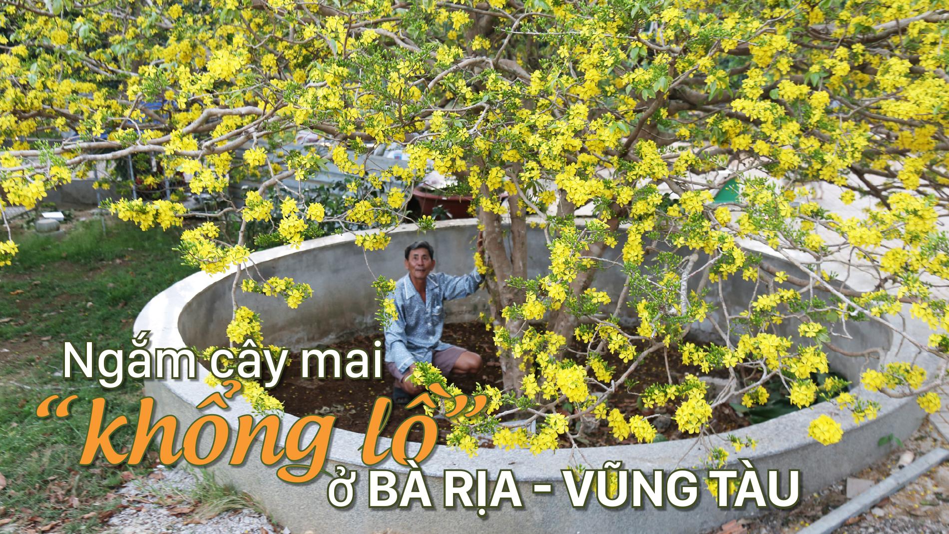 """Ngắm cây mai """"khổng lồ"""" ở Bà Rịa - Vũng Tàu"""