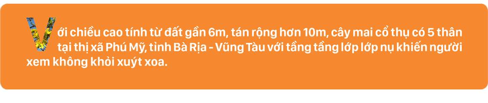 Ngắm cây mai 'khổng lồ' ở Bà Rịa - Vũng Tàu ảnh 1