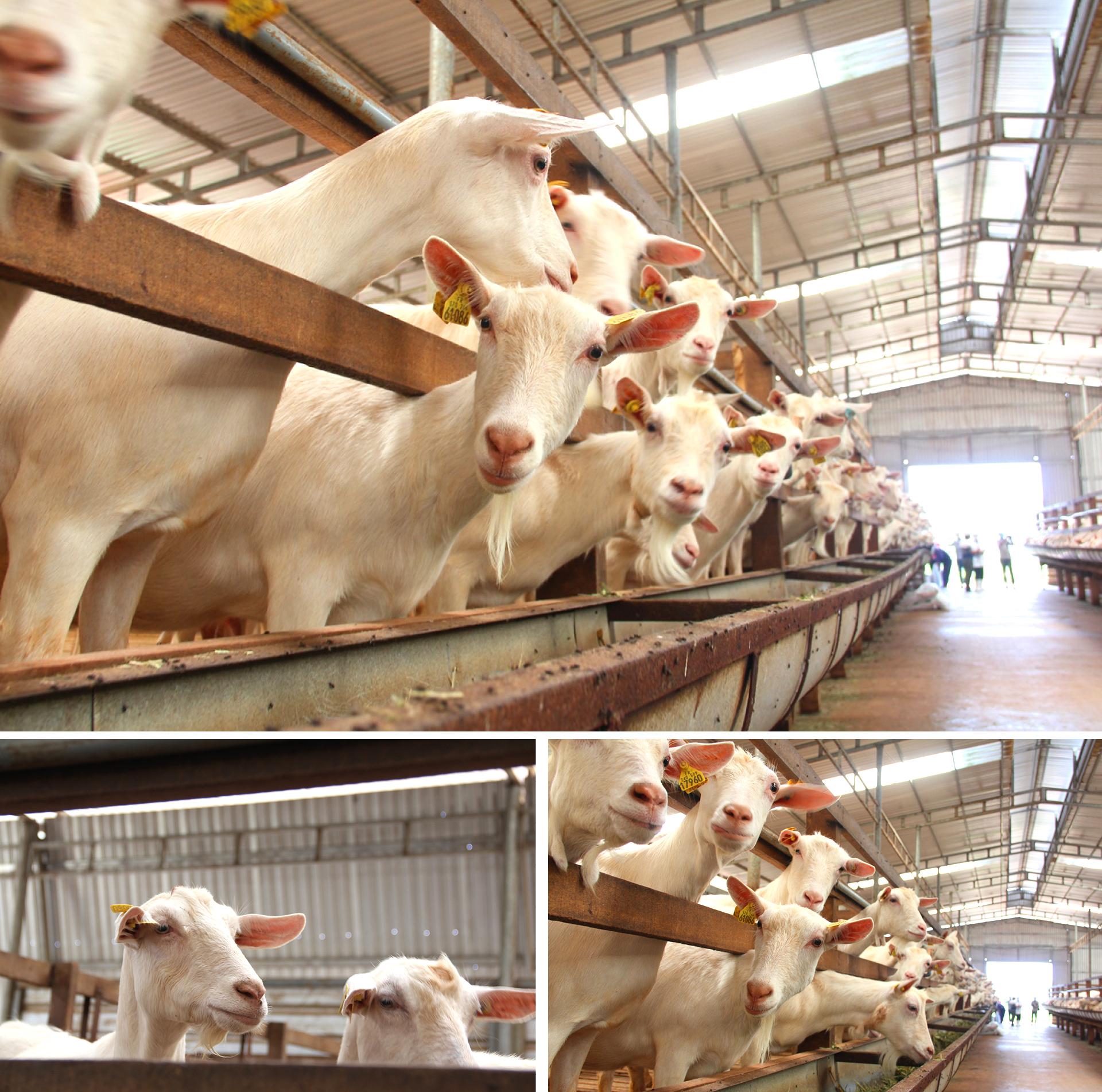 Trang trại  8.000 con dê sữa tại Măng Đen ảnh 2