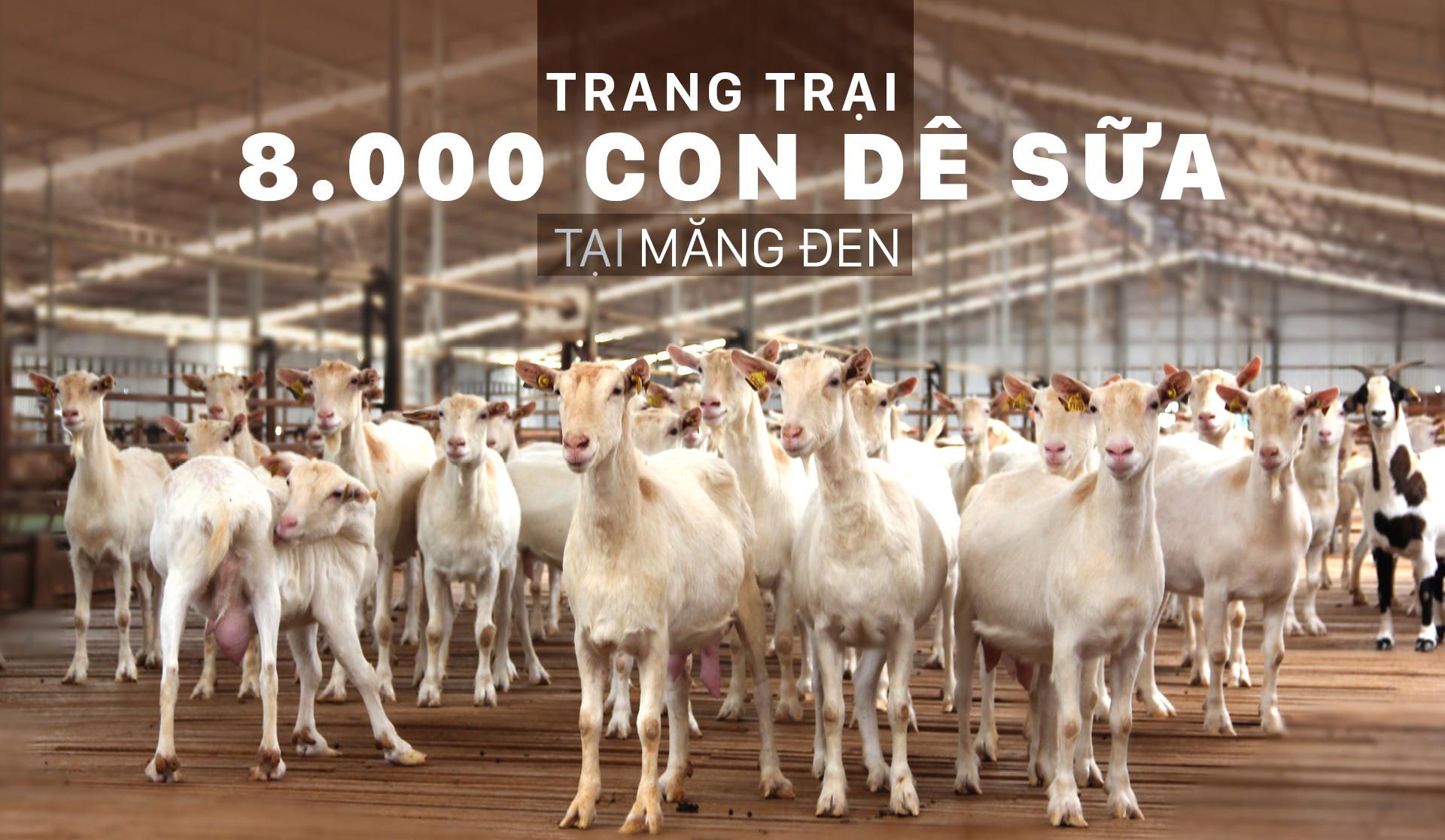 Trang trại  8.000 con dê sữa tại Măng Đen