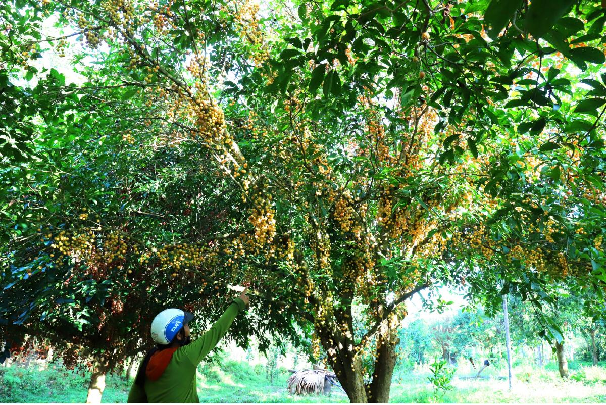 Ngất ngây vẻ đẹp vườn dâu da mùa thu hoạch ảnh 10