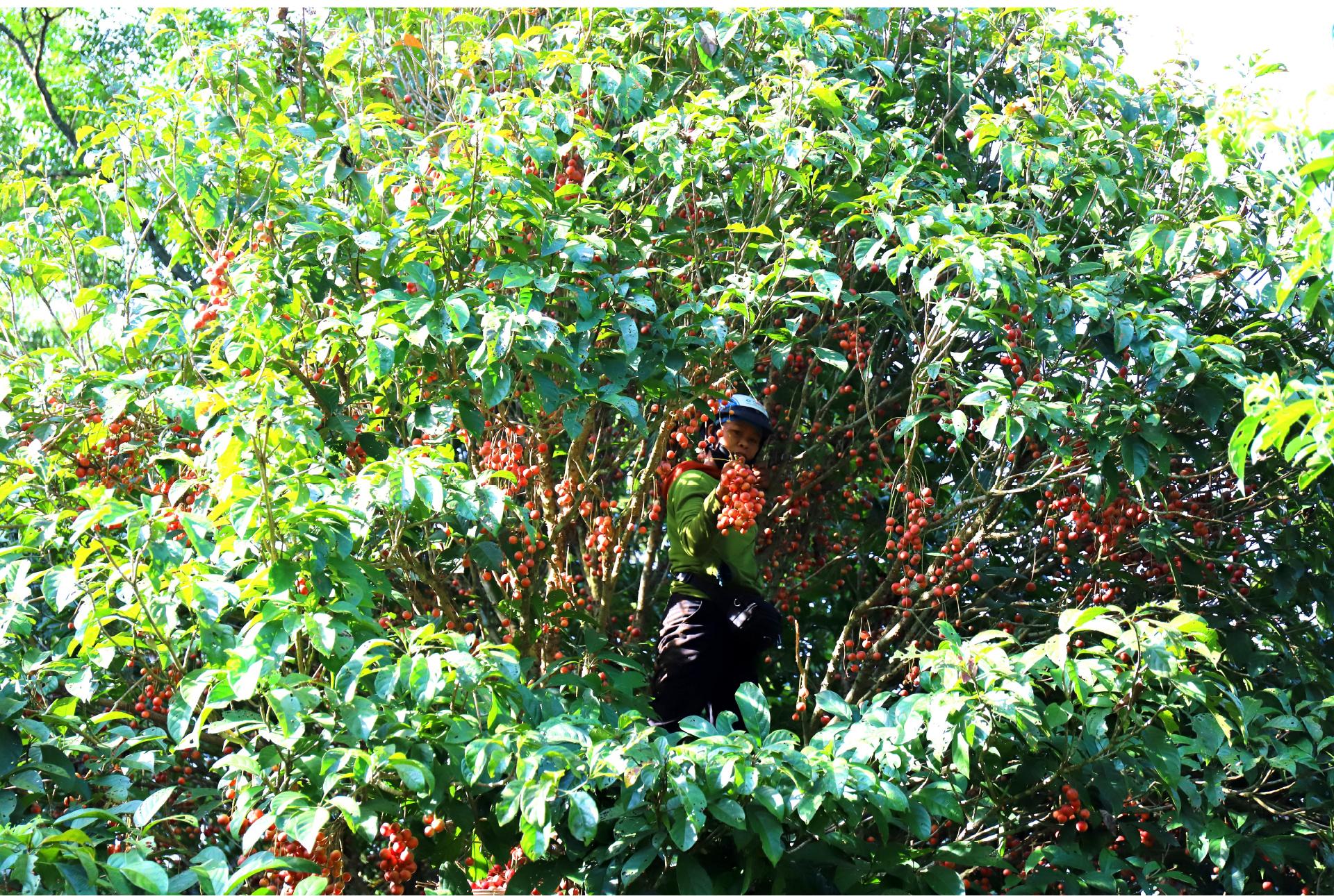 Ngất ngây vẻ đẹp vườn dâu da mùa thu hoạch ảnh 12