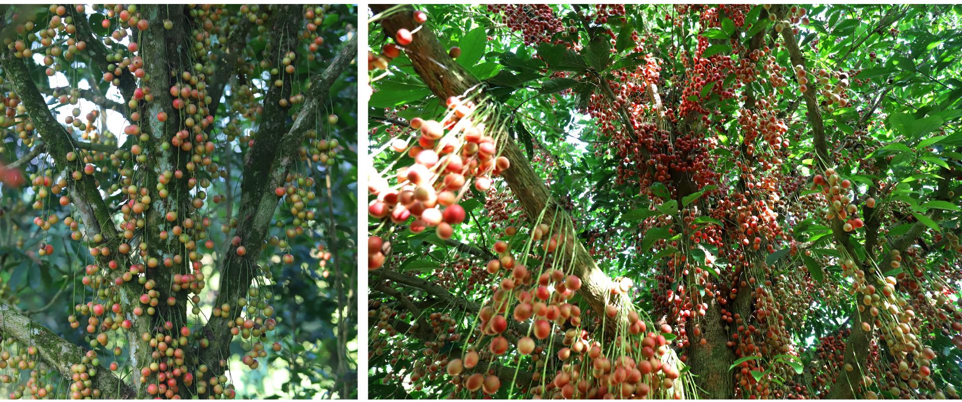 Ngất ngây vẻ đẹp vườn dâu da mùa thu hoạch ảnh 19