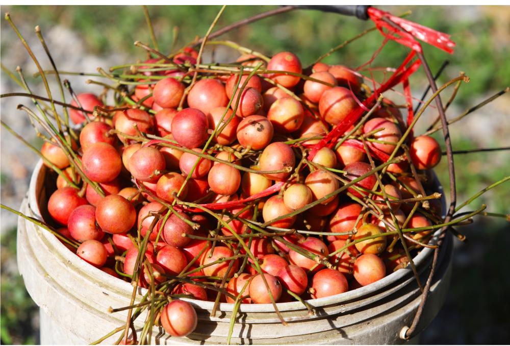 Ngất ngây vẻ đẹp vườn dâu da mùa thu hoạch ảnh 22