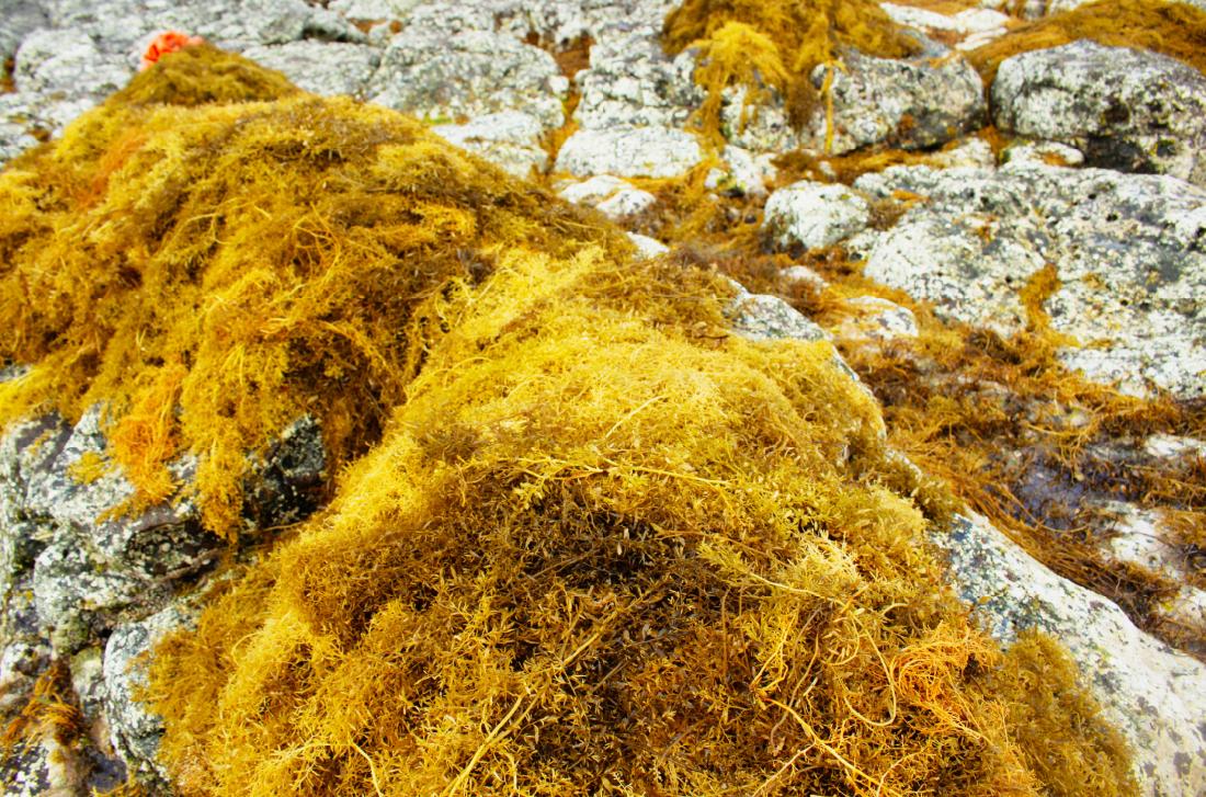 Vẻ đẹp của rong mơ biển trong mùa thu hoạch ảnh 21