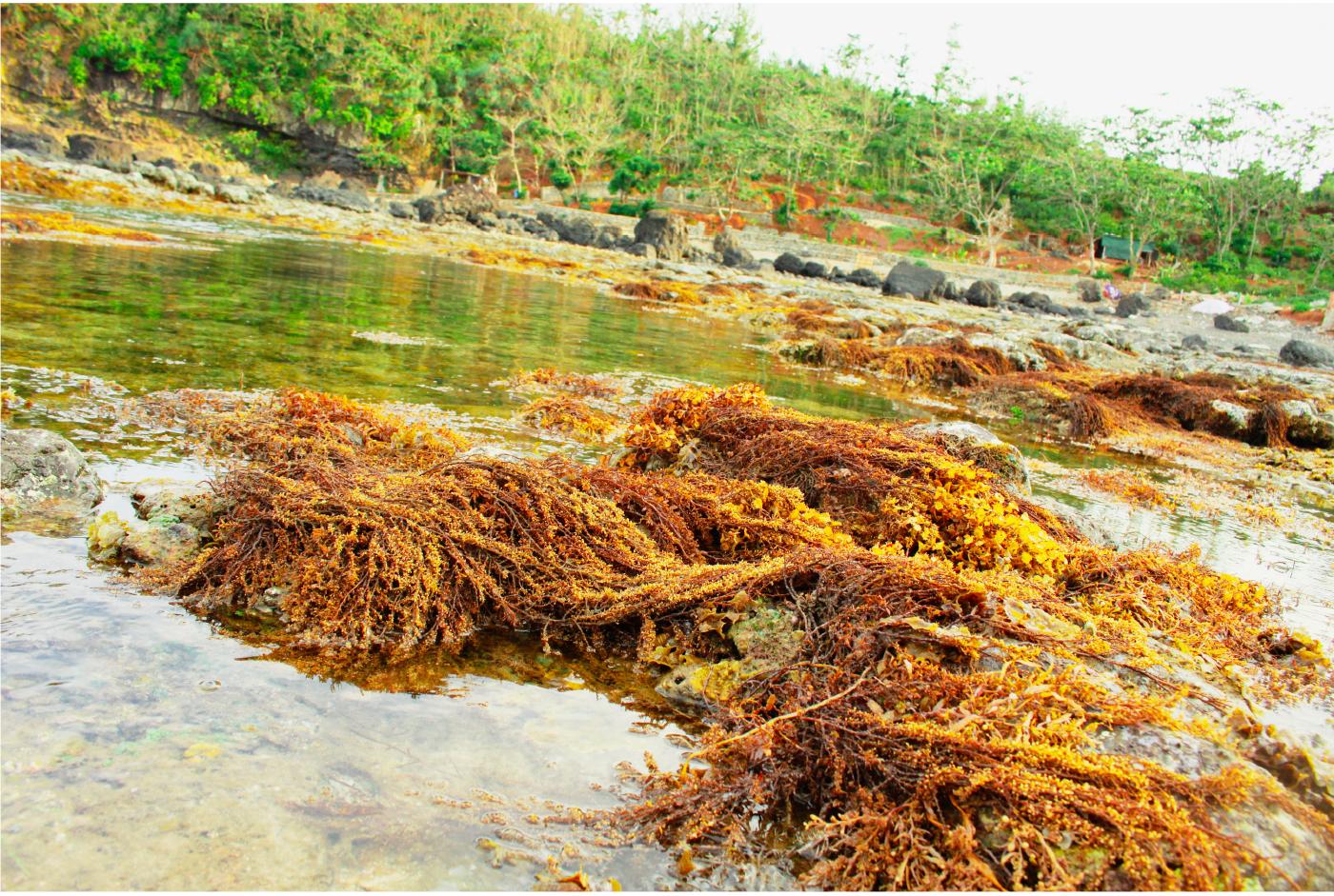 Vẻ đẹp của rong mơ biển trong mùa thu hoạch ảnh 38