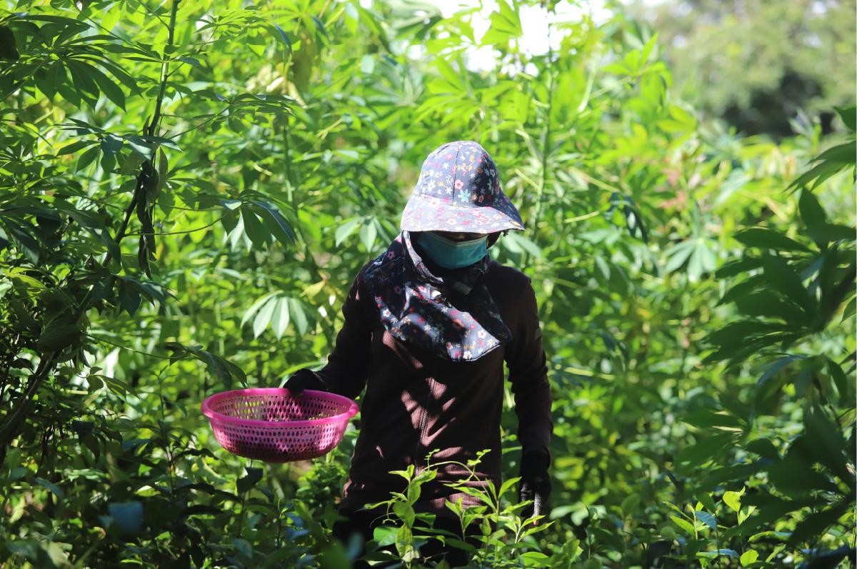 Hà Tĩnh vào mùa thu hoạch quả trám đen ảnh 24