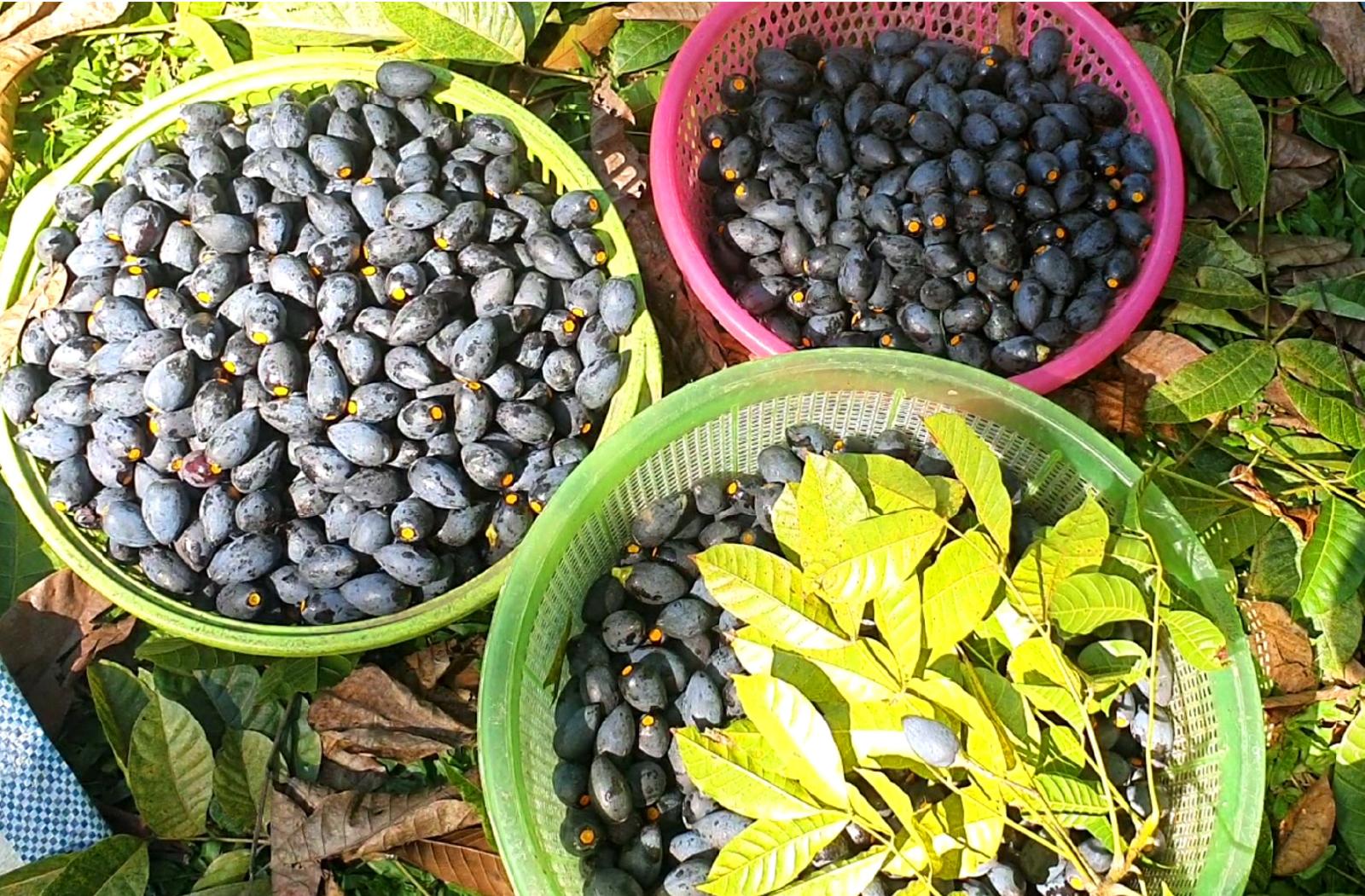 Hà Tĩnh vào mùa thu hoạch quả trám đen ảnh 9