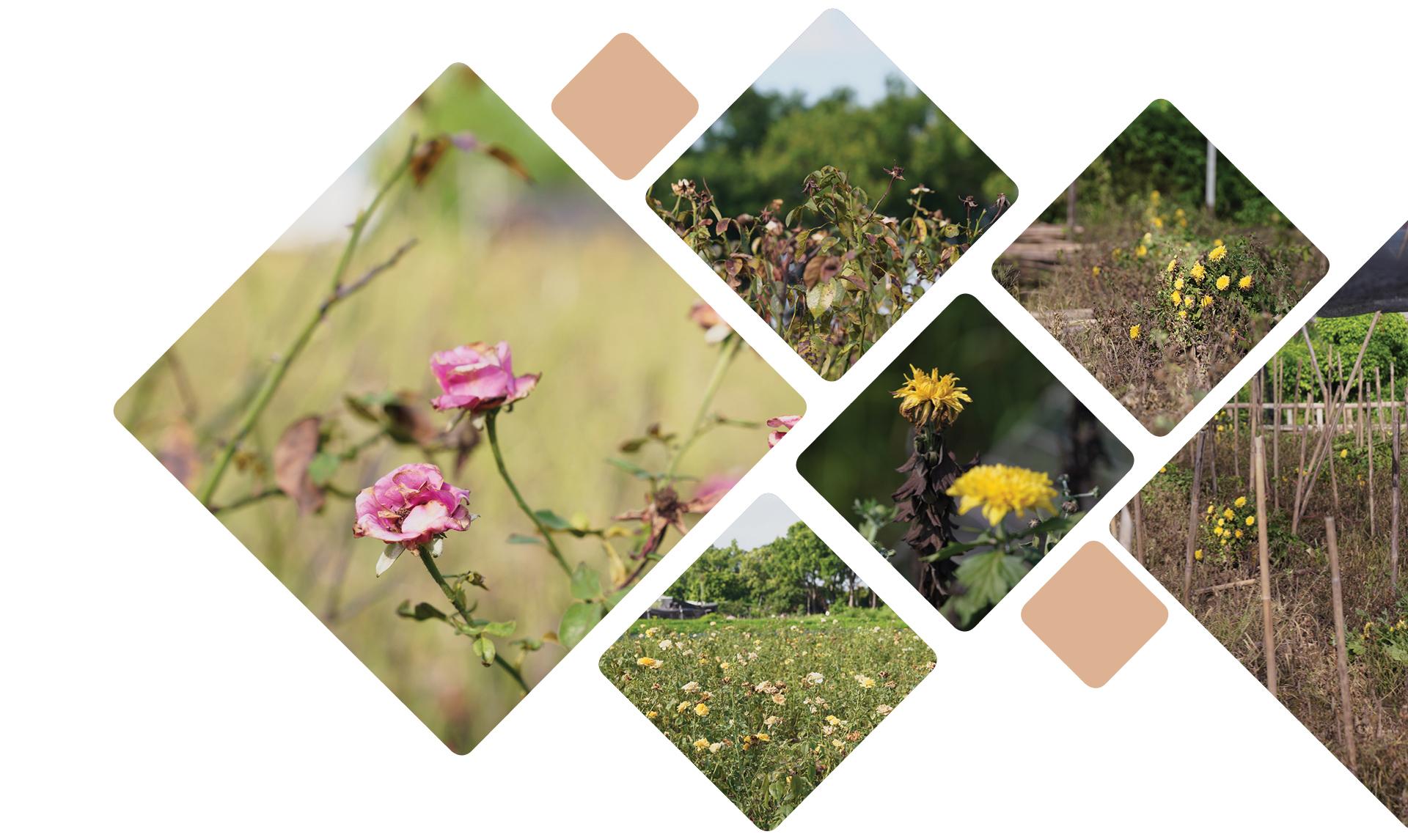"""Làng hoa Tây Tựu """"điêu đứng"""" vì dịch Covid-19 ảnh 6"""