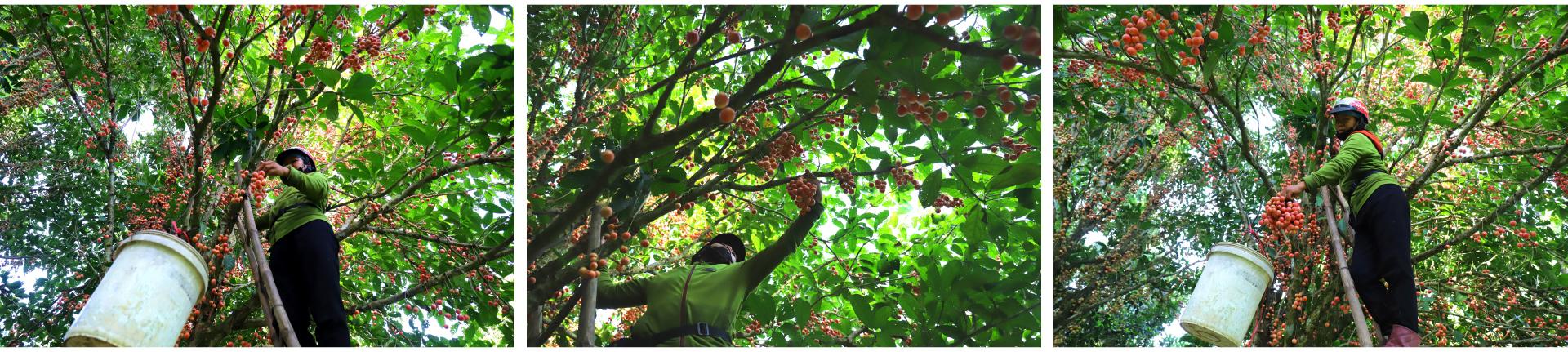 Ngất ngây vẻ đẹp vườn dâu da mùa thu hoạch ảnh 11