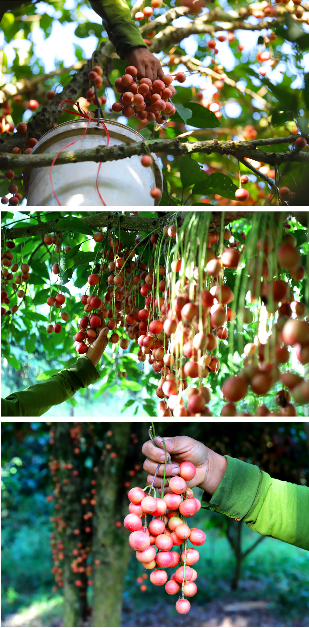 Ngất ngây vẻ đẹp vườn dâu da mùa thu hoạch ảnh 13