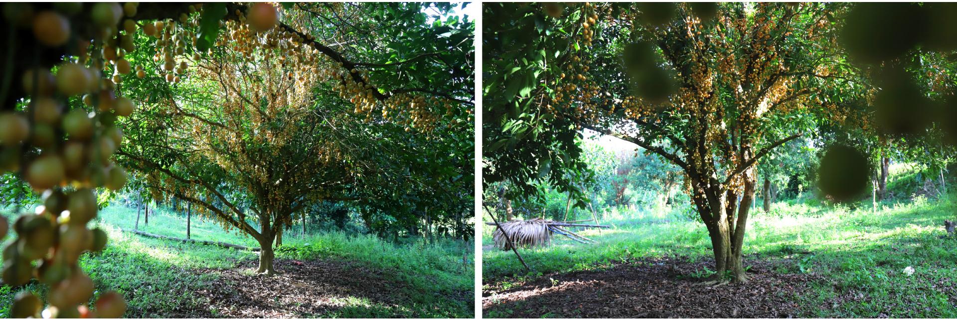 Ngất ngây vẻ đẹp vườn dâu da mùa thu hoạch ảnh 16