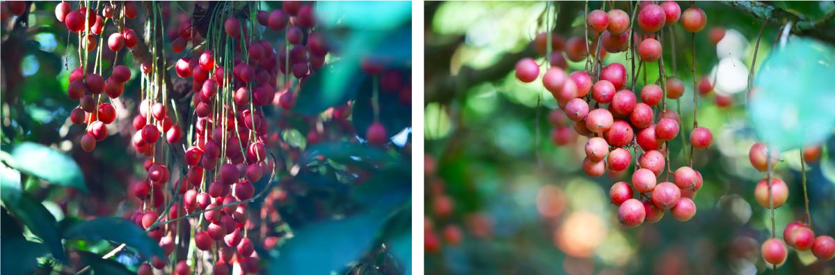 Ngất ngây vẻ đẹp vườn dâu da mùa thu hoạch ảnh 20