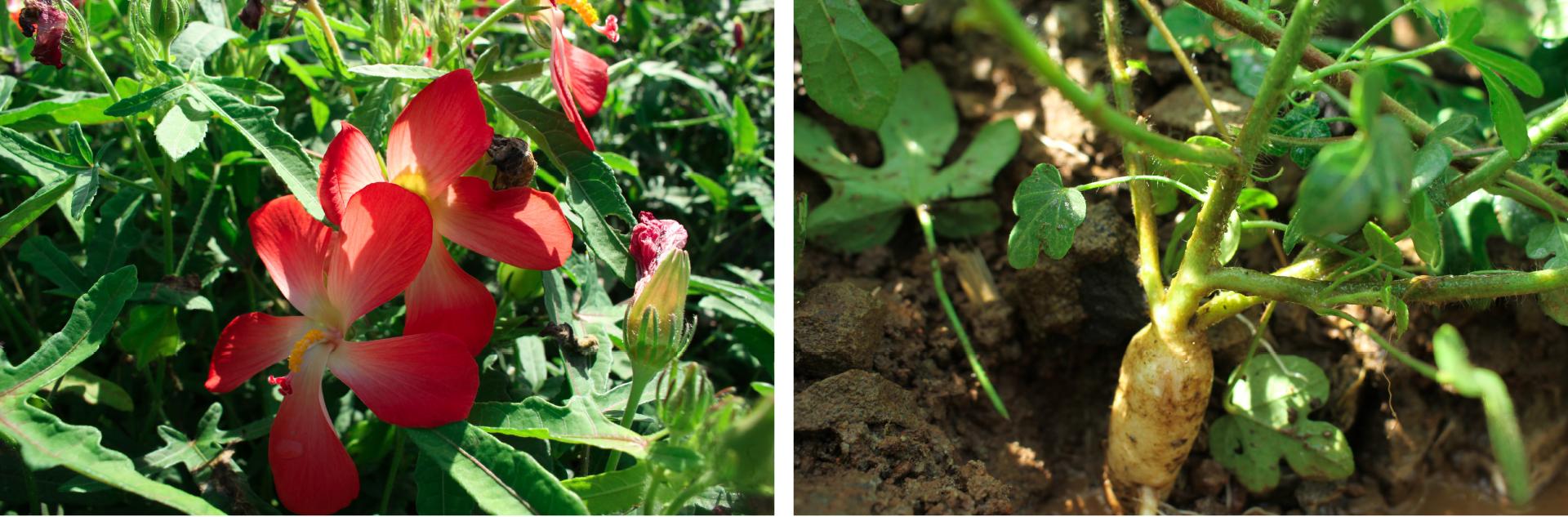 Sâm Bố Chính nở hoa rực rỡ trên đất Quảng Ngãi ảnh 12