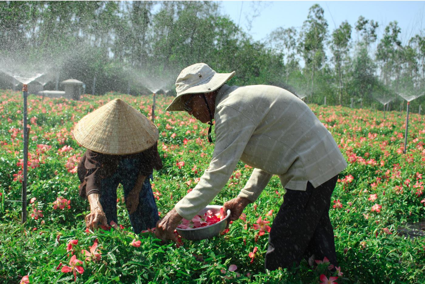 Sâm Bố Chính nở hoa rực rỡ trên đất Quảng Ngãi ảnh 16