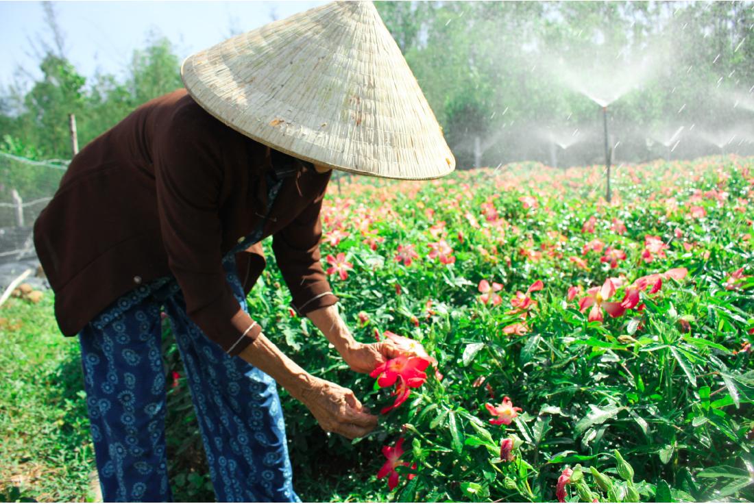 Sâm Bố Chính nở hoa rực rỡ trên đất Quảng Ngãi ảnh 19