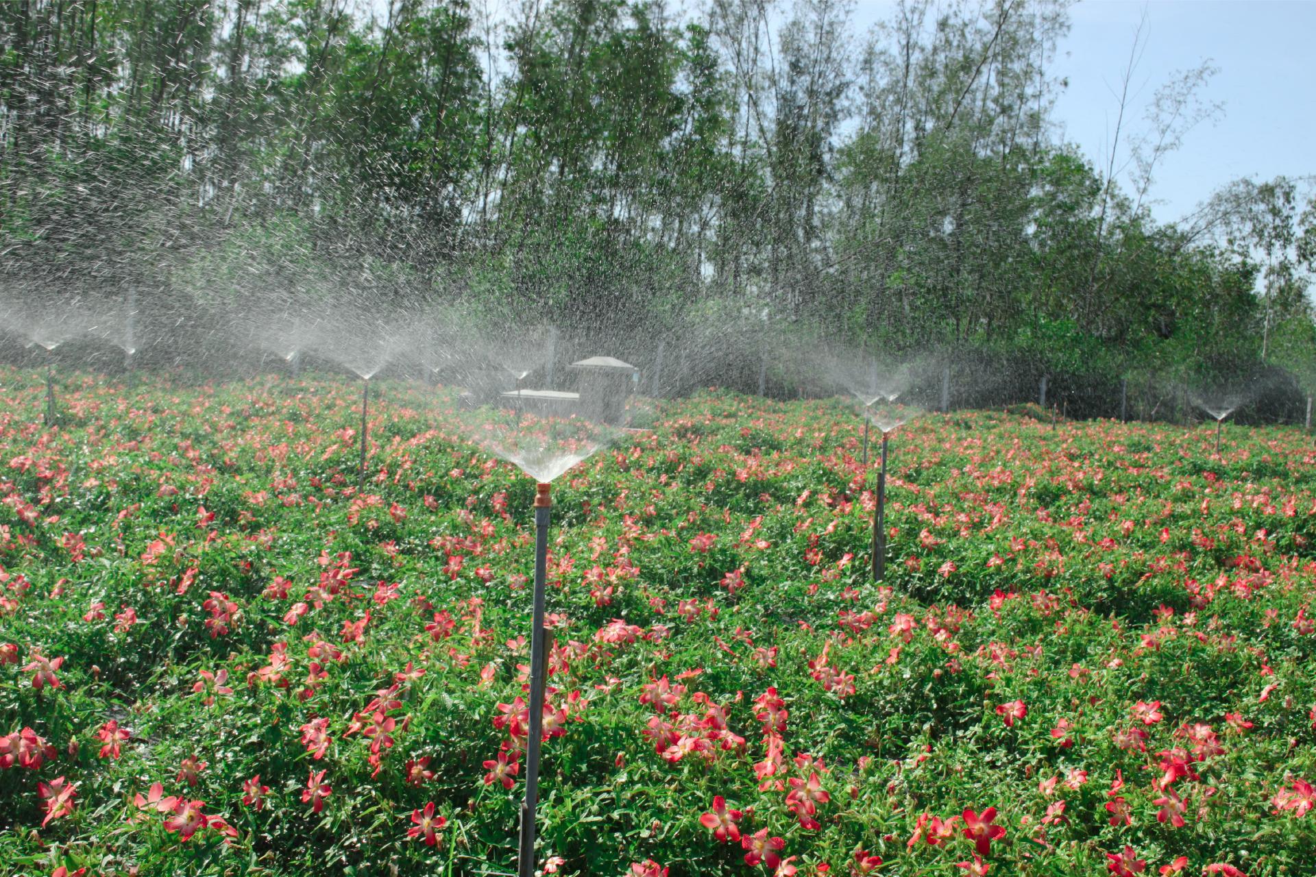 Sâm Bố Chính nở hoa rực rỡ trên đất Quảng Ngãi ảnh 20